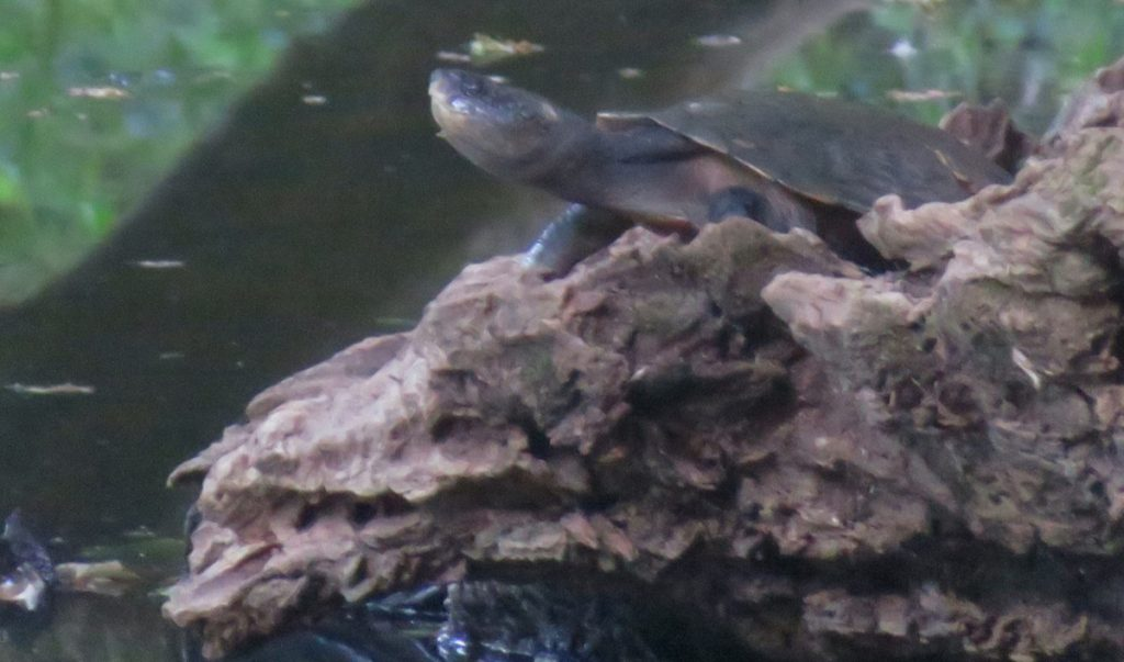 Can you think of a good name for Revelwood's resident turtle? Photo Franck Boyer