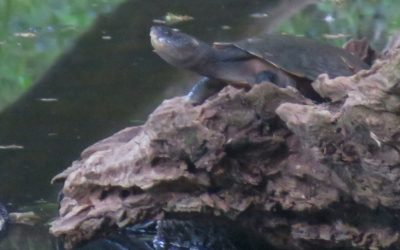 Name Revelwood's turtle